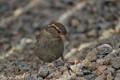 Female house sparrow.