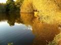 Golden Willows on Golden Pond