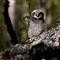 Hawk Owl Juvenile