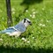 20110628_Blue_Jay_bird_shutter_speed_motion_090_iPad
