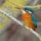 kingfisher female DT_DSC0111