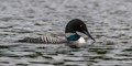 Red-eye loon