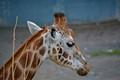 Giraffe Claire