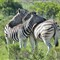 Zebra's resting.