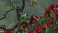 Slaty Headed Parakeet