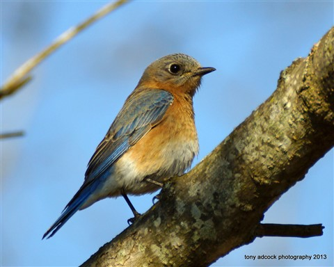 Eastern Bluebird (sialia sialis) female