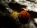Ladybug laying offspring
