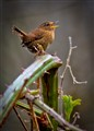 song-burst, winter wren