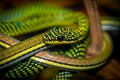 Garter Snake.