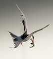 Lucky Tern -2289