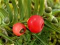 Taxus bacata Tisa