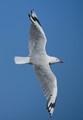 Grey gull