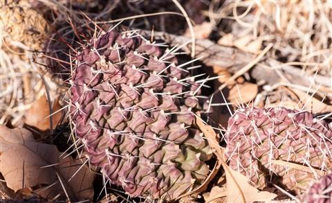 Winter Cactus 4