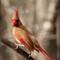 Cardinal - Female: SAMSUNG CSC