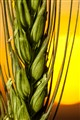 Wheat stalk at sunset