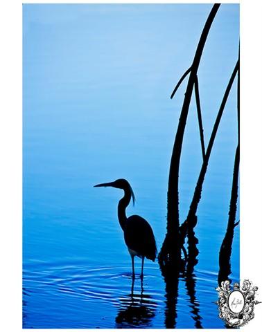 Heron-Florida-BlueWaters-HeraBell