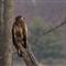 Bald Eagle-22-1