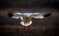 Ross's goose landing