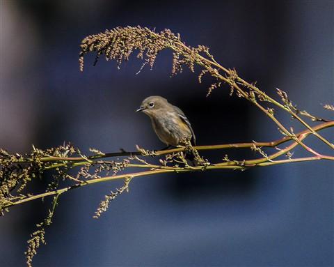 Admire me! Yellow-Rumped Warbler on display...