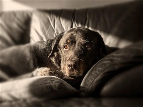 my old rottweiler klein