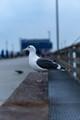 Seagull at Newport Beach Pier