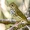 Ovenbird-4469