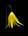 Idaho Glacier Lily