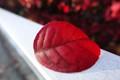 A Red Leaf 2