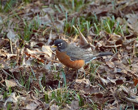 yard_bird