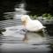 Albino Mallard In The Rain