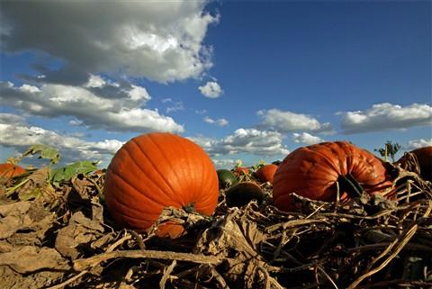 pumpkins ground