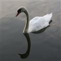 Mirrow Swan