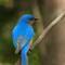 Eastern Bluebird - Male: SAMSUNG CSC
