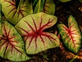Caladium: Florida Botanical Gardens