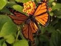 Monrach Butterfly