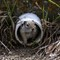 GroundSquirrel_EastCrBeaverheadNFMT_1_051613_1_1_1000px_reduced