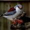 pygmy falcon 1