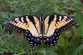 Nicely colored Eastern Tiger Swallowtail on Parsley