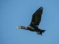 Cormorant with broken undercarriage