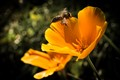 Orange flower and the bee