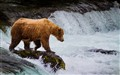 Brown bear (Ursus arctos) on Brooks Falls