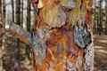 Abstract painting pine bark