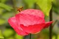 Anenome bee