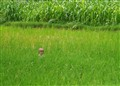 Monster in the rice field