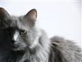 Silver cat, align left