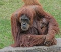 Doré Zoo, France, Orang outan, mother and baby