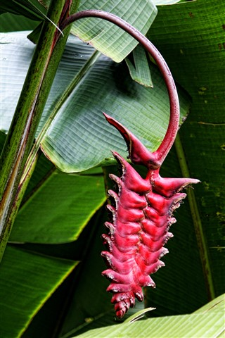 Tropical Heliconia Flower--I think