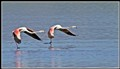 Flamingo - Greater IMG_3218_916