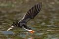 Black Skimmer Feeding