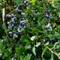 Blueberries_Garden
